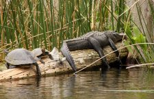 Where to Swim With Alligators in Florida