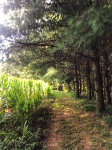 Enchanted Corn Field